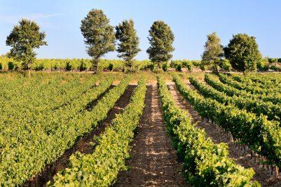 Les vignes du Château d'Ollières